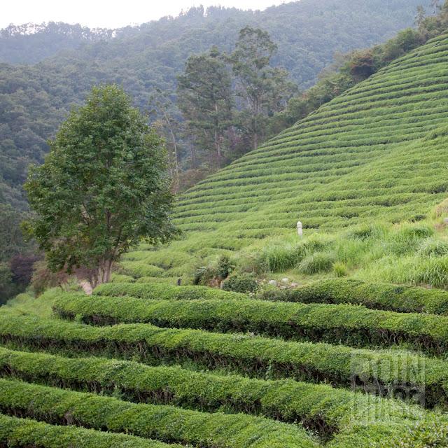 Daehan Green Tea Plantation in Boseong, South Korea.