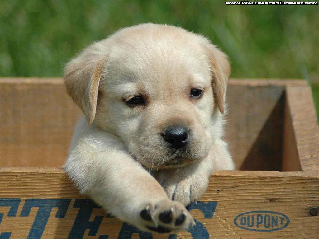 http://1.bp.blogspot.com/-YLS7slZxQ1Y/TlfG9Op6ehI/AAAAAAAACVY/H9sYFOXA9tg/s1600/retriever-puppy-wallpaper.jpg