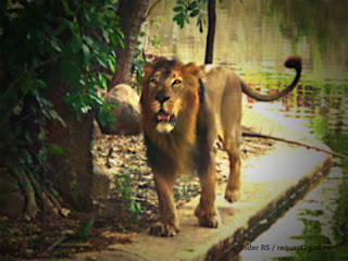 Indian or Asian Lion feeling lonely at Hyderabad zoo