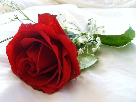 single white rose wallpaper. Red And White Roses Wallpaper.
