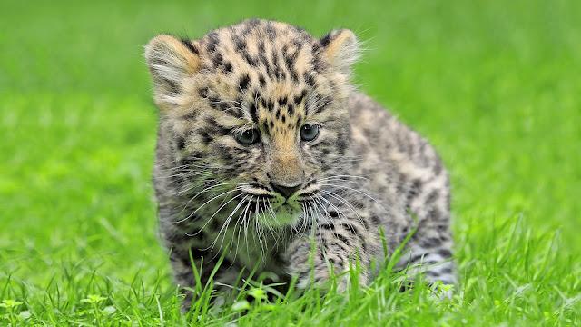 Amur Leopard Cub Cute HD Wallpaper