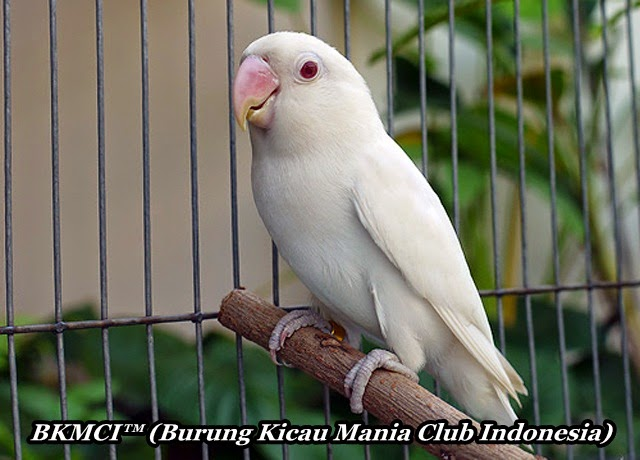 http://burungkicau-indonesia.blogspot.com/2014/10/Cara-Merawat-Burung-LoveBird-Agar-Gacor.html