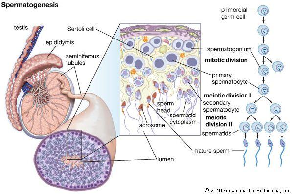 Proses Pembentukan Sperma (Spermatogenesis) dan Pembentukan Ovum (Oogenesis) pada Manusia