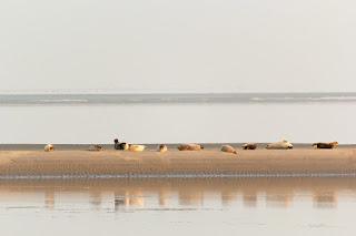 Zeehonden bij Den Helder liggen op een zandbankje te zonnen.