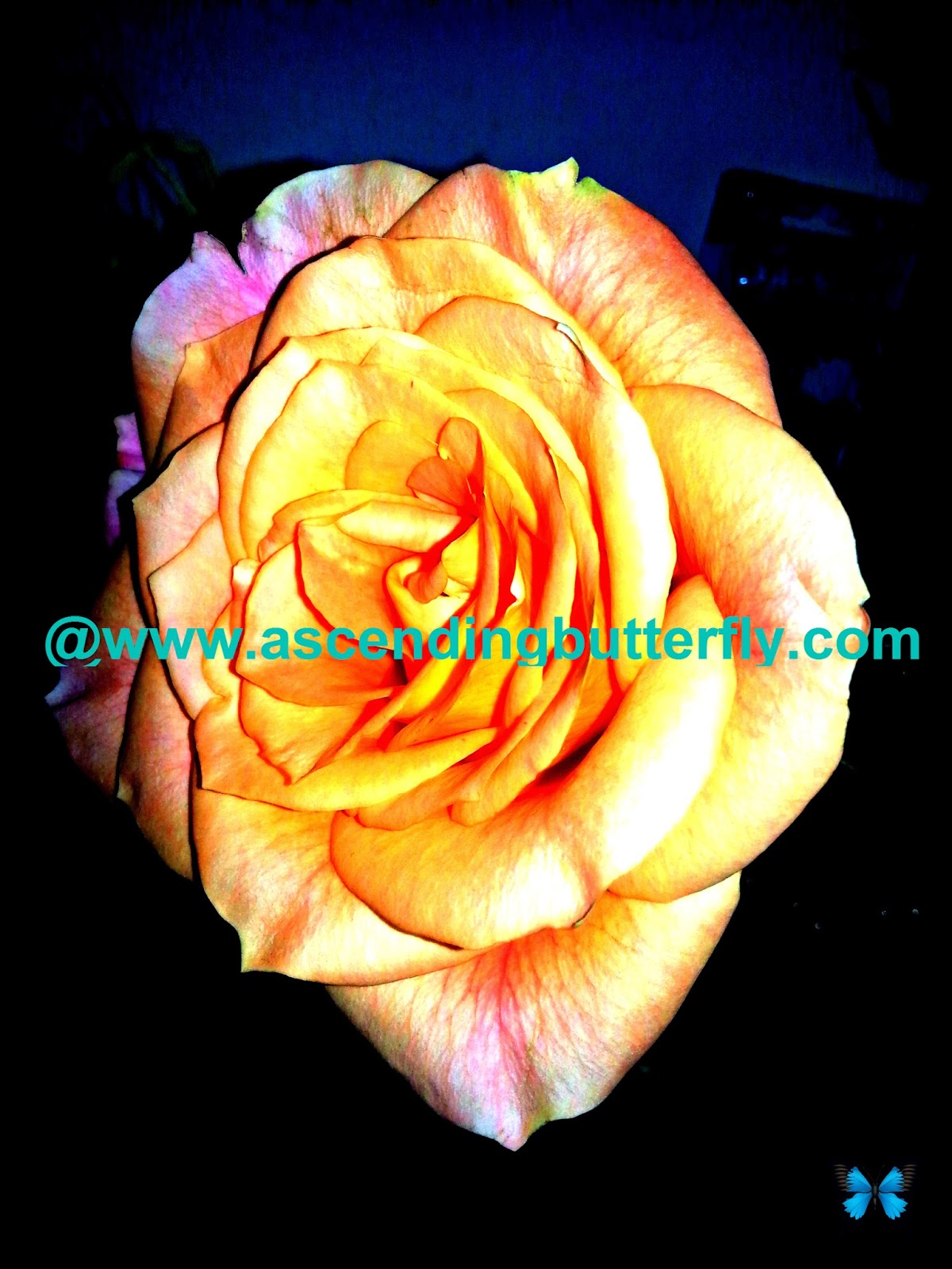 Passion Roses at Getting Gorgeous 2014