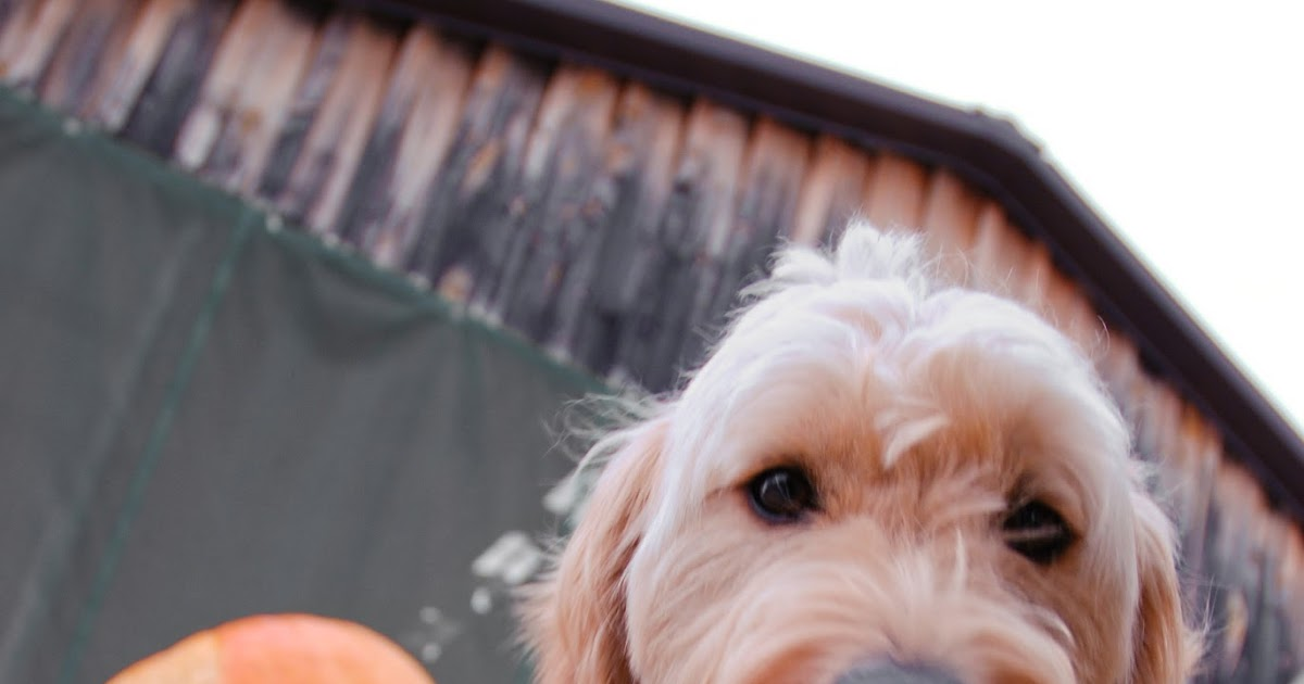 paws for reaction halloween treats the best pumpkin dog