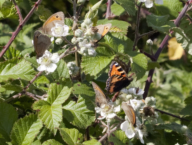 Small tortoiseshell, Aglais urticae, and five meadow browns, Maniola jurtina, feeding on bramble near Well Wood. 11 June 2011.