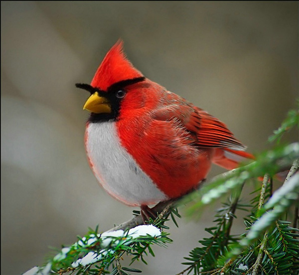 The Red Angry Bird