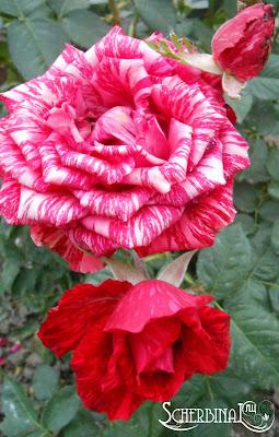 полосатые рябые розы