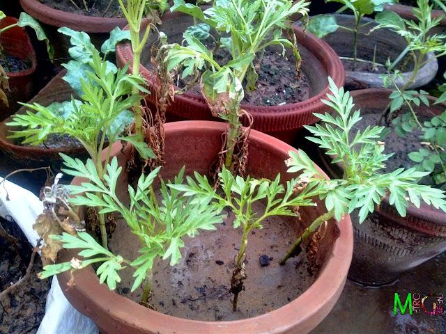 Metro Greens: Cosmos Plants
