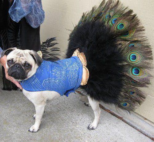 dog in fashion show