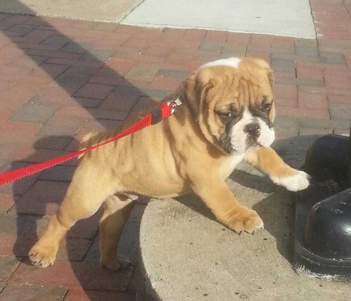 Cute dogs - part 9 (50 pics), bulldog puppy on the leash