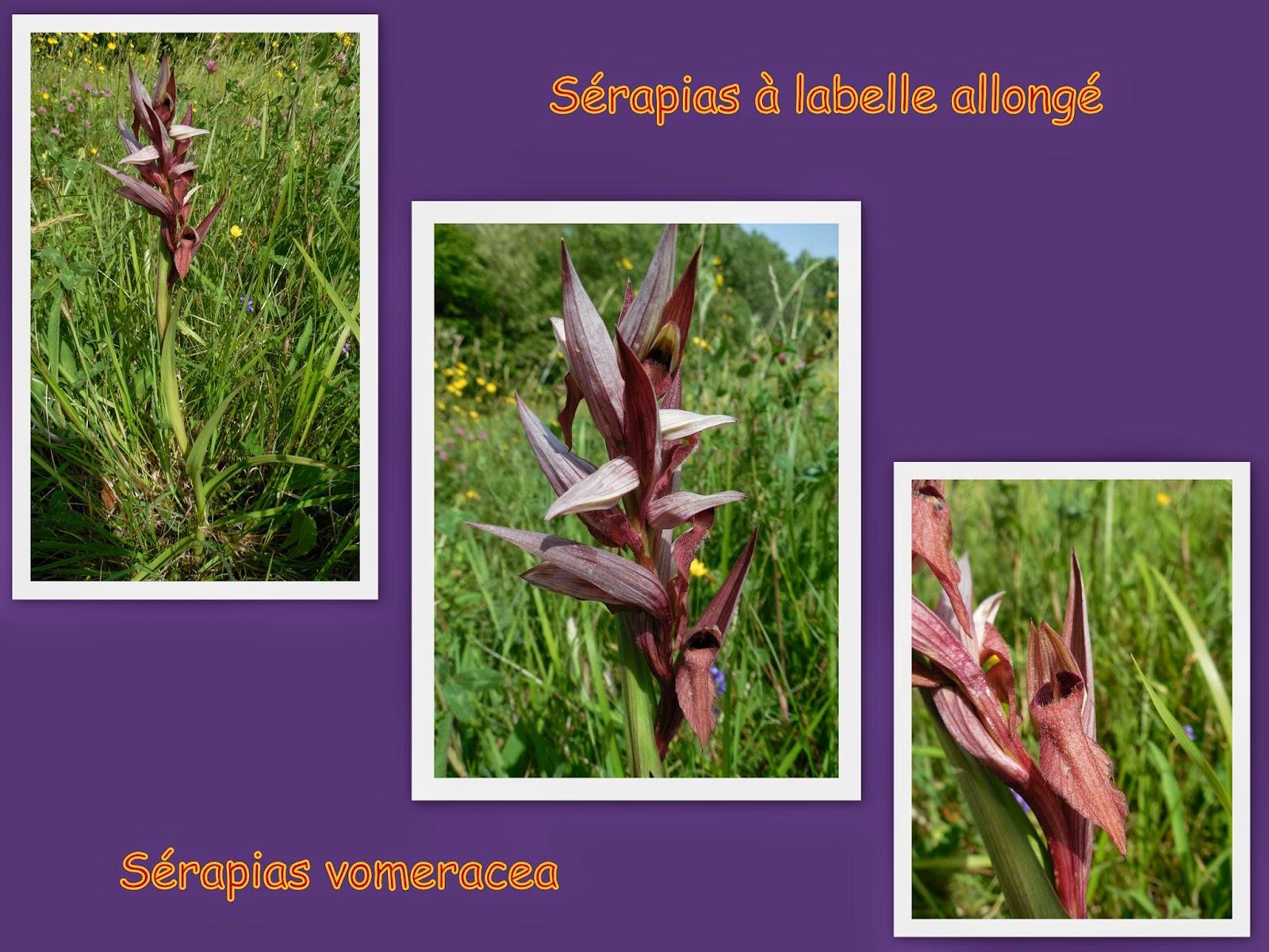orchidee sauvage marron