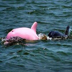 "bintancenter.blogspot.com - ""Keren"" Lumba-Lumba Warnanya Pink"