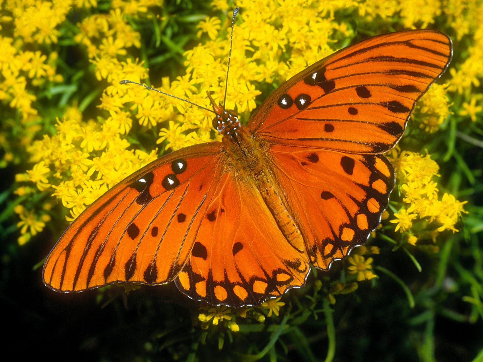 Gambar Kupu Kupu Butterfly Wallpapers