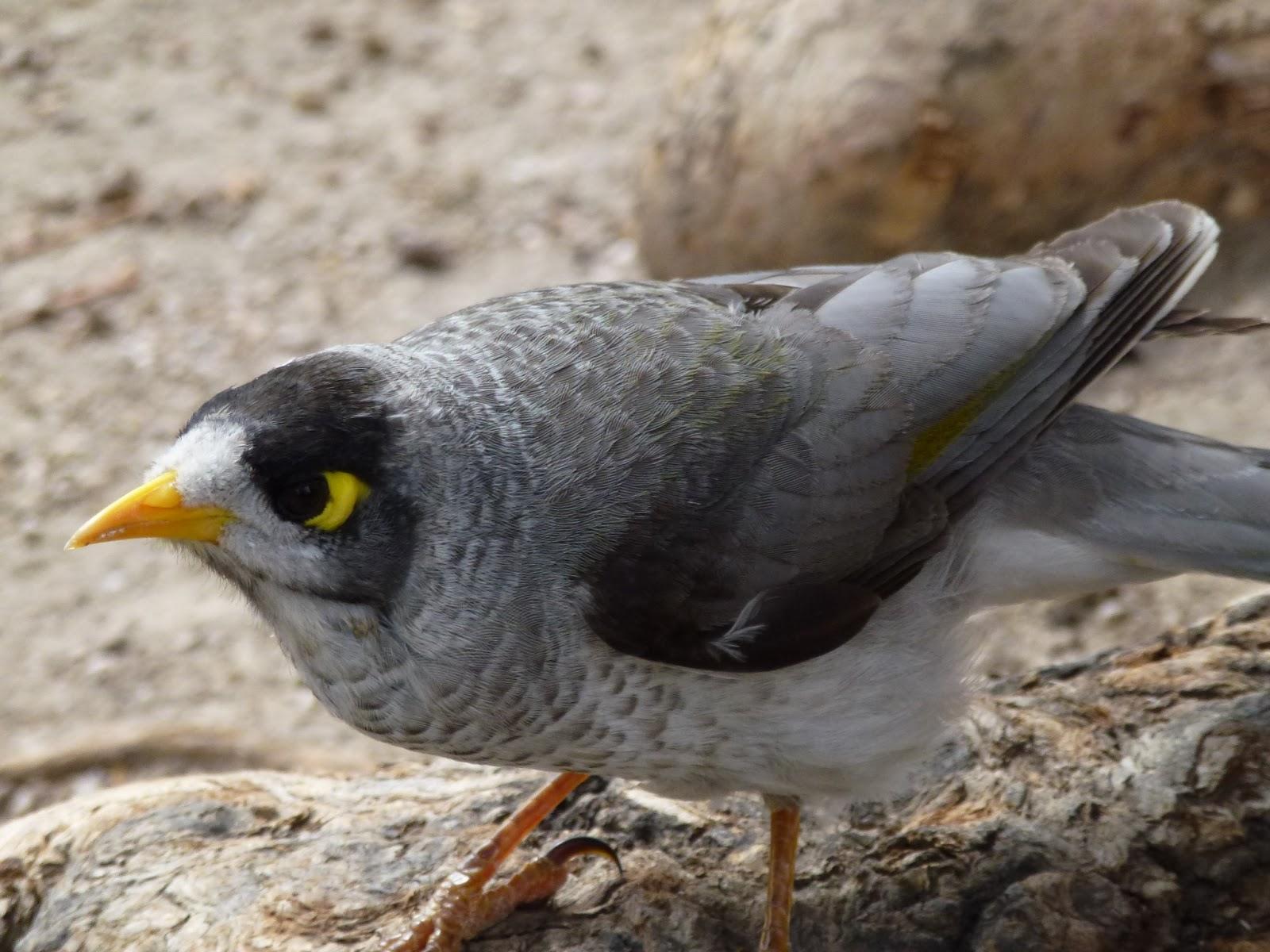 Australian miner bird photos Cached