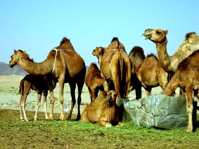 Gambar Unta Punuk Satu di Padang Pasri Arab