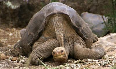 Solitario Jorge Chelonoidis abingdonii tortuga de pinta