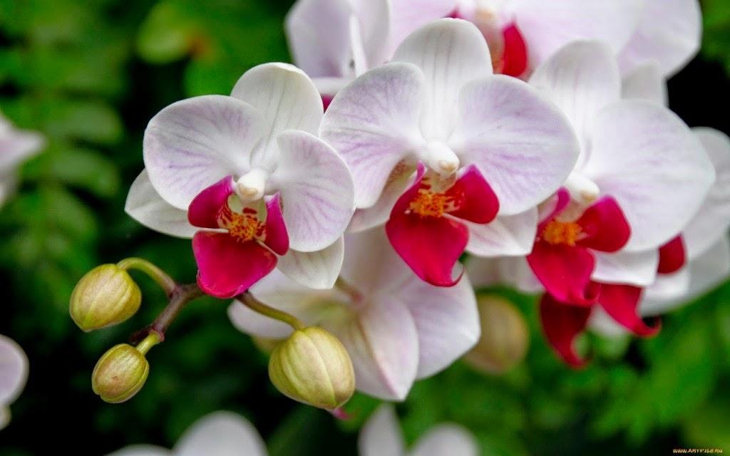 Imagenes De Flores De Orquideas - imágenes Orquídeas, Flores, fotos de flores, imágenes de