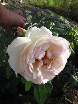 Några av mina favorit rosor...