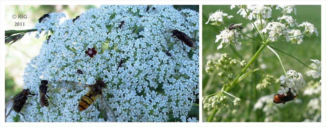 Klasse im garten pflanzen und ihre insekten for Pflanzen kleine fliegen