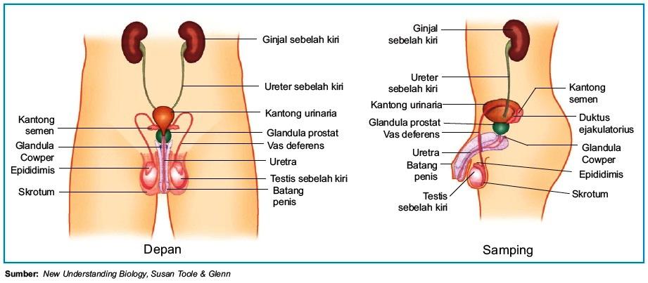 Proses Dan Alat Reproduksi Pada Pria Laki