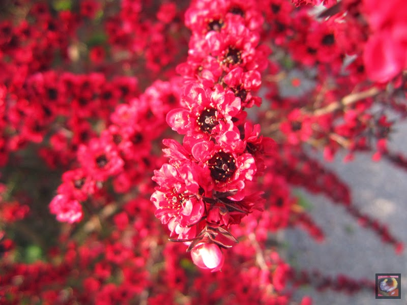 Leptoespermum scoparium (manuka, árbol de té, leptoespermo)