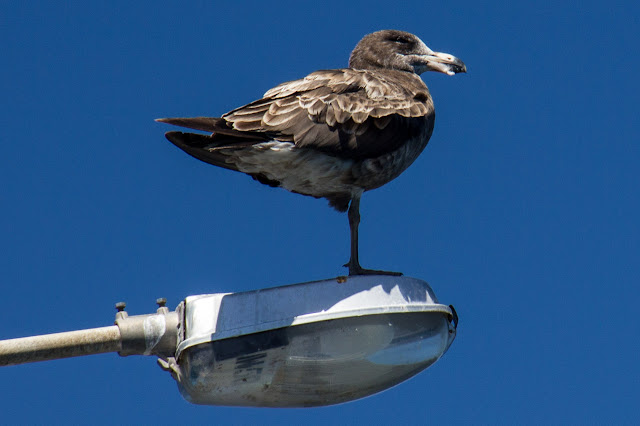 juvenile silver gull standing on light with one leg