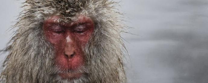 Los Macacos De La Nieve