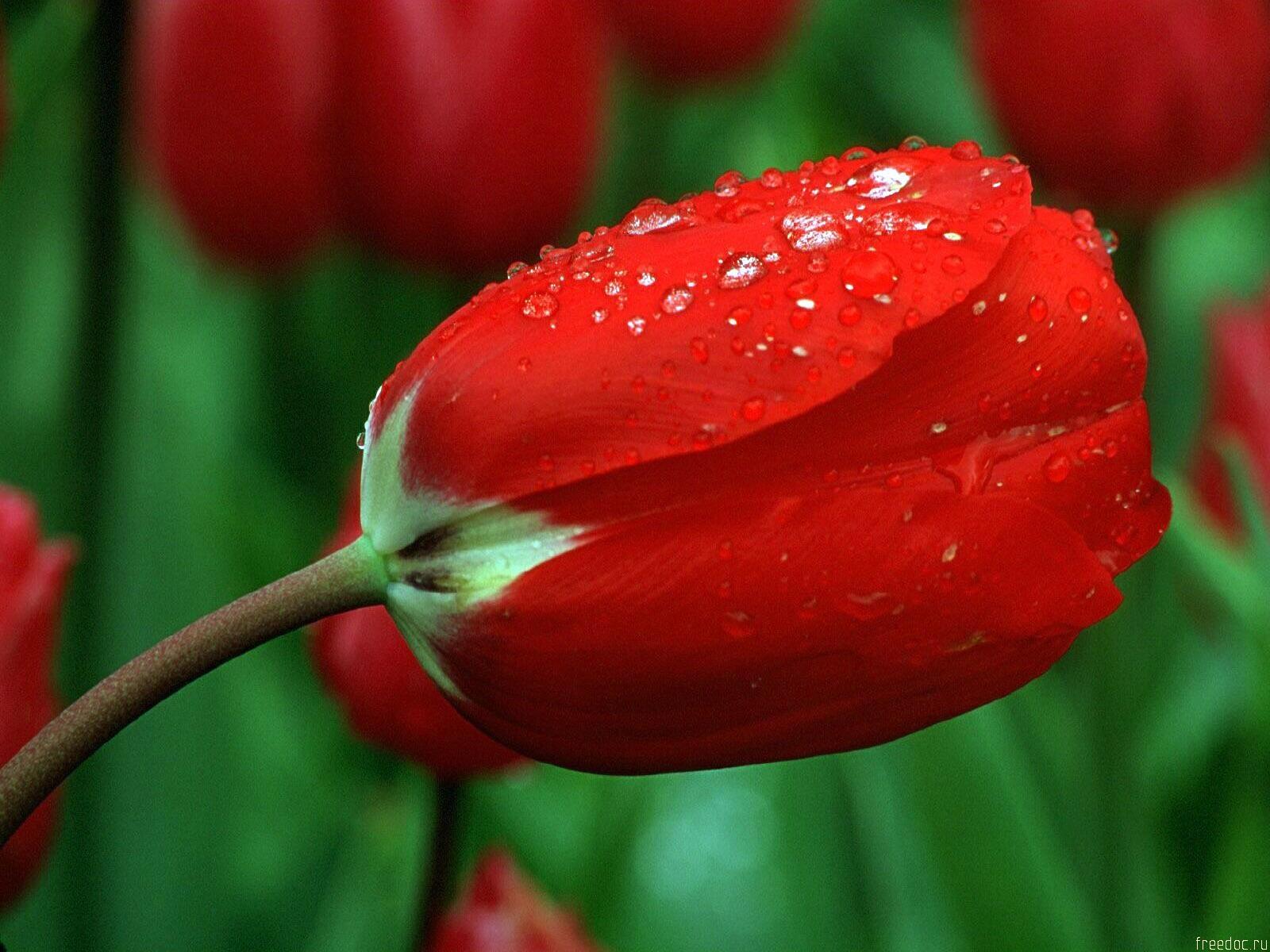 http://1.bp.blogspot.com/-YR_imqS9fC4/TnD4F0wl3NI/AAAAAAAAB2U/ZpAN4VV8_HU/s1600/red-roses-wall3picimg.jpg