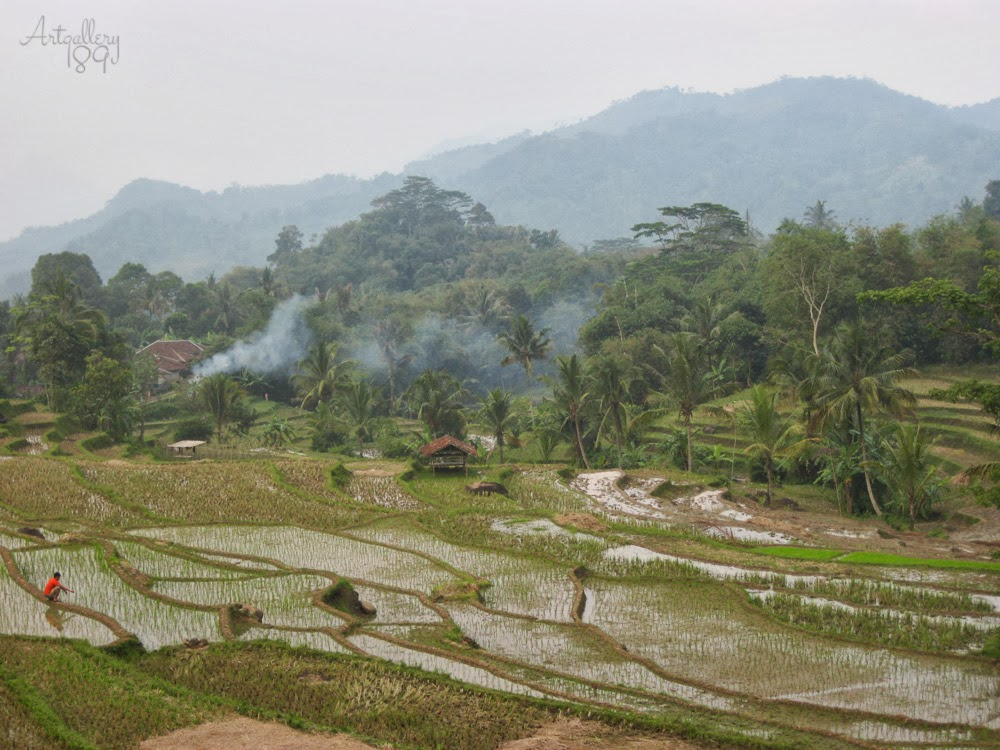 The Rice Field  at Village Dangder Cianjur