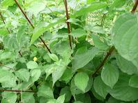 piante infestanti sanguinella