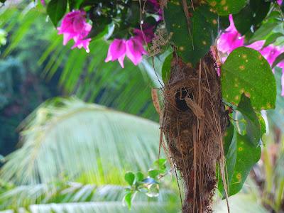 Common Tody-Flycatcher nest
