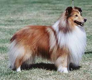 Fluffy Dog Breeds | The Double Coated Dog Breed List - Puff Daddies of ... Bearded Collie Coat