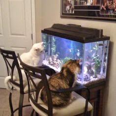 2 chú mèo ngắm hồ thủy sinh