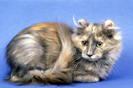 American Curl Long Hair Cats
