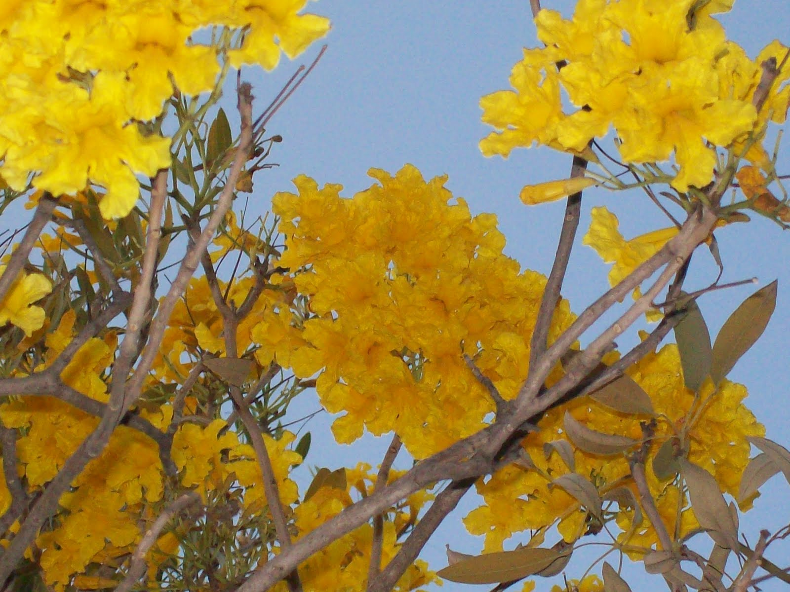 Gardentropics Todays Flowers Tree Of Gold