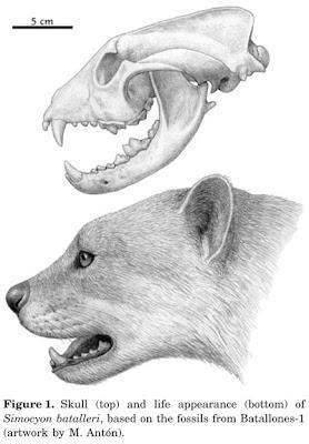Simocyon skull
