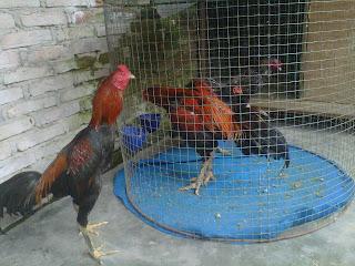 ayam aduan modern menurut informasi ayam pakhoy adalah ayam asli