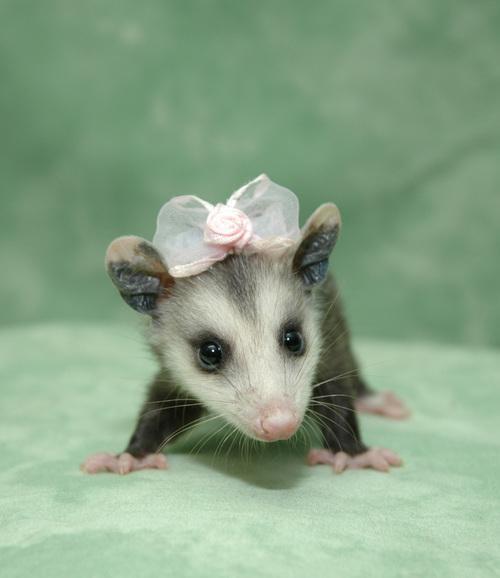 Pet Possum Wwwimgarcadecom Online Image Arcade