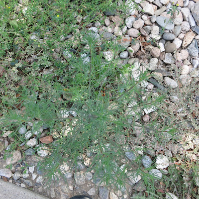 Salsola sp., Russian thistle or tumbleweed