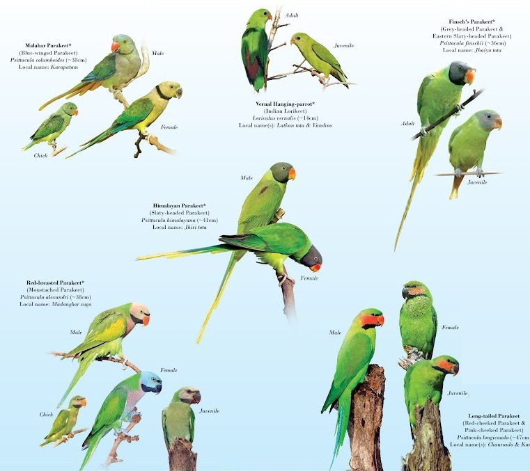 Species New to Science: [Ornithology • Conservation] Parrots of ...