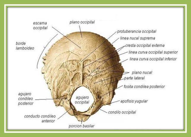 Huesos del cráneo - Occipital | J. Yoncon - Anatomía humana con ...
