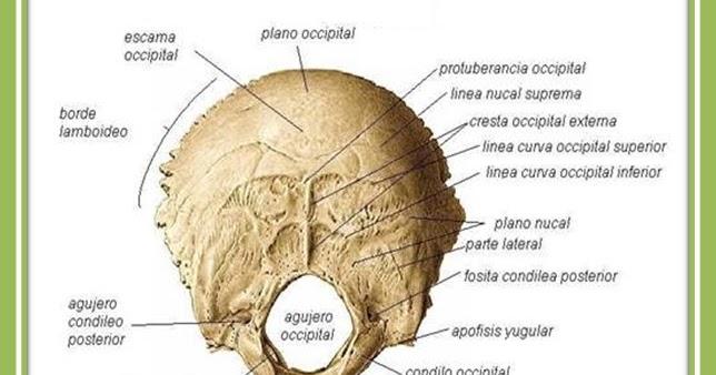 Huesos del cráneo - Occipital   J. Yoncon - Anatomía humana con ...