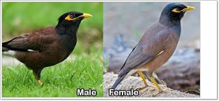 Burung jalak jantan dan betina