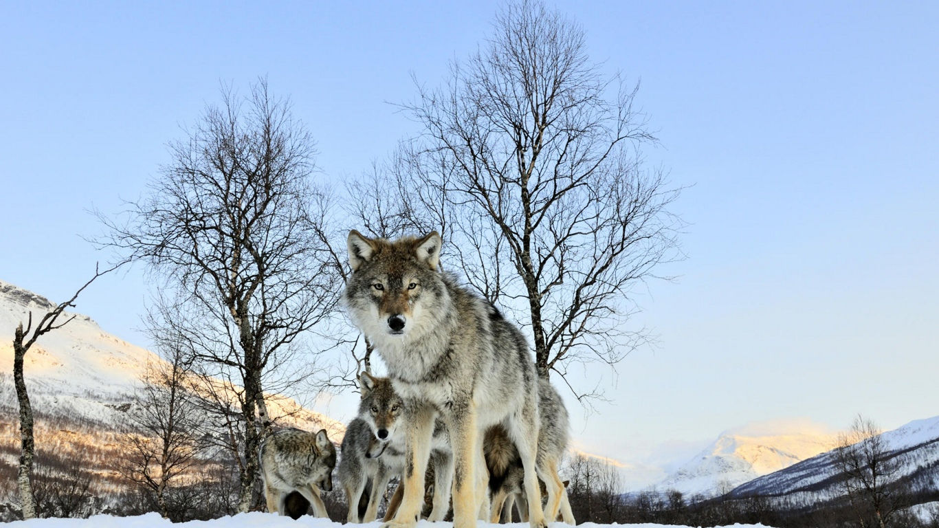 Amazing Wallpaper Mac Wolf - animal+Wallpaper+28  HD_97759.jpg