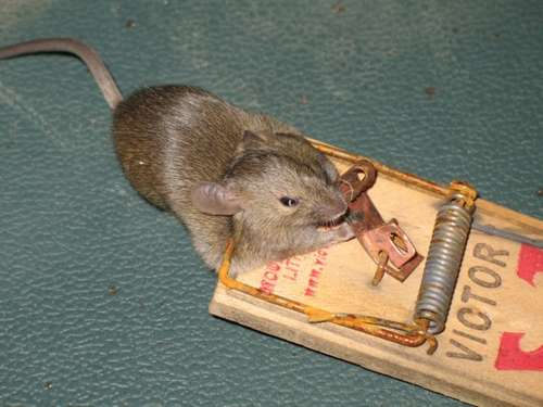 The Cheese in the Mouse Trap