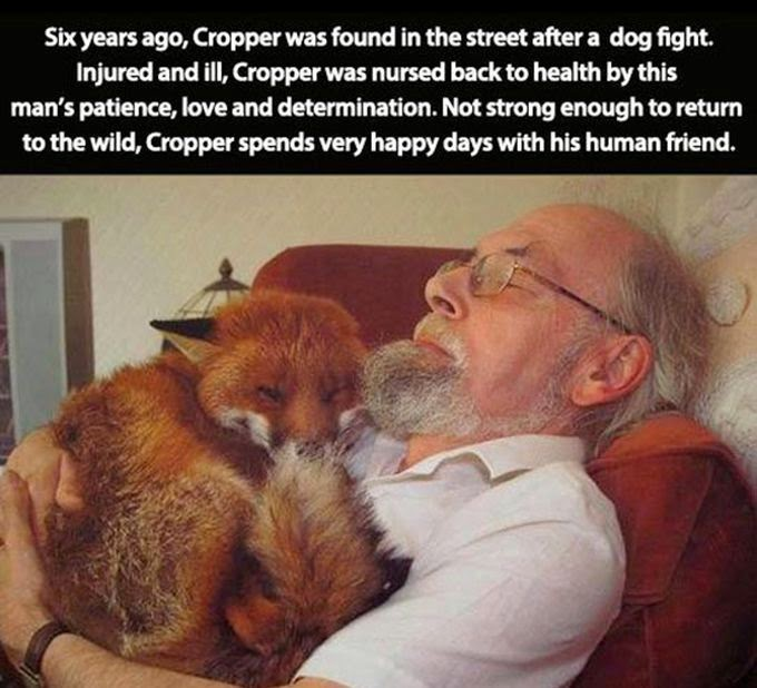 People doing amazing things for animals (28 pics), old guy sleeping with a fox he rescued in the street after dog fight