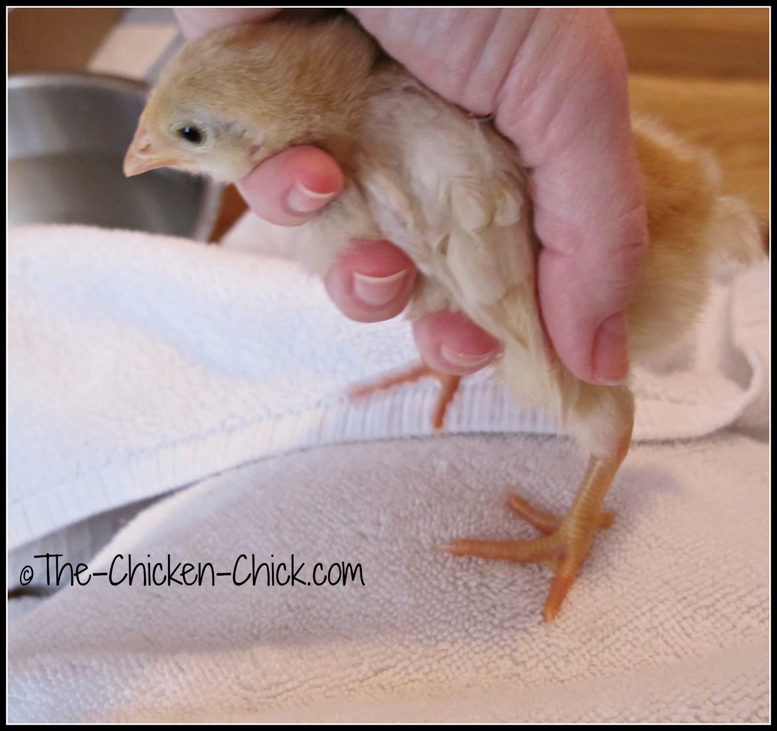 Gently remove softened droppings being careful not to pull as the skin can tear.  Towel dry.