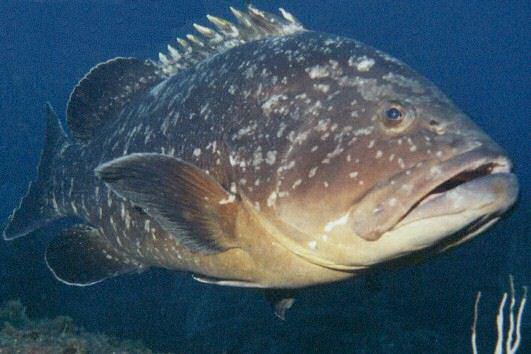 Favoritos A Arte da Pesca: Peixes de Água Salgada - Badejo XH18